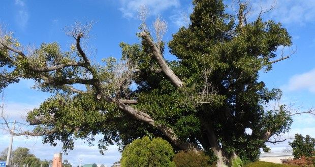 Burke and Wills tree safety work scheduled this Thursday