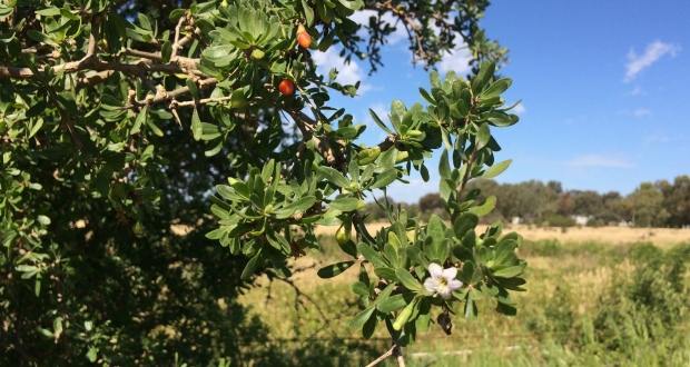 Boxthorn a growing concern, control it now
