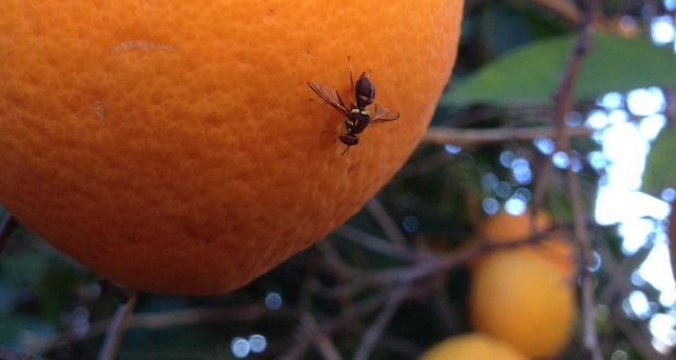 Spring into action against fruit fly